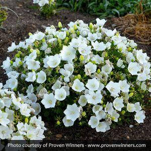 Rapido White Carpathian Bellflower