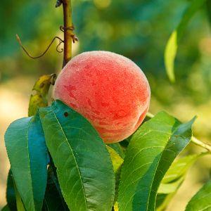 Raritan Rose Peach Tree
