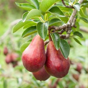 Red Bartlett Pear Tree