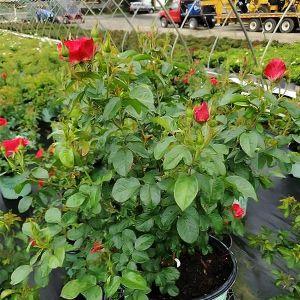 Red Streamer Climbing Rose
