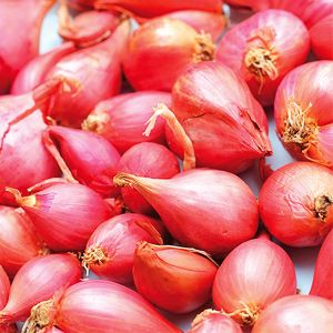Gourmet Red Shallot Plant