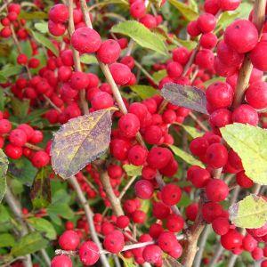 Red Sprite Holly