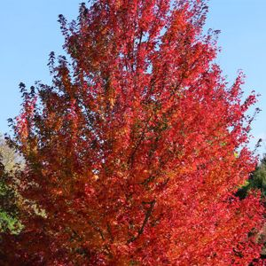 Red Pointe® Red Maple