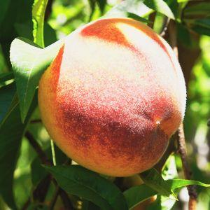Regina Peach Tree
