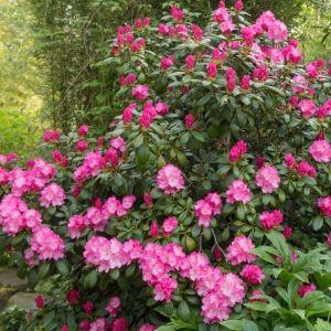Rhododendron Hachmann's Polaris
