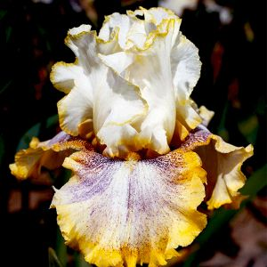 Ring Around Rosie Tall Bearded Iris