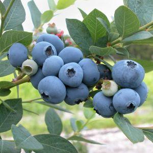 Patriot Blueberry Bush