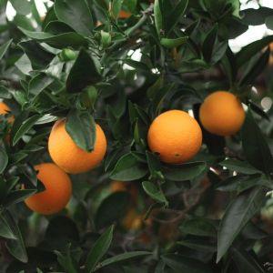 Robertson Sweet Orange Tree