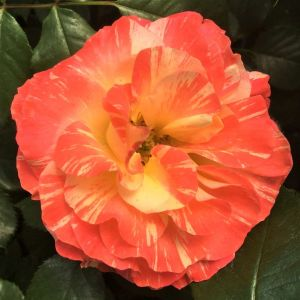 Chihuly® Rose