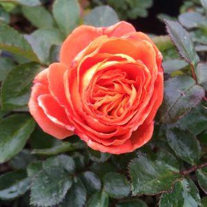 Mango Veranda® Rose