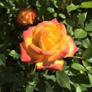 Rainbow Sunblaze® Rose