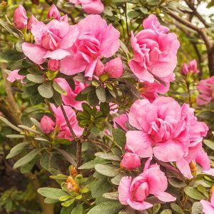 Rosebud Azalea