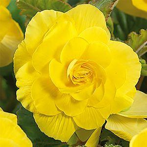 Roseform Yellow Begonia