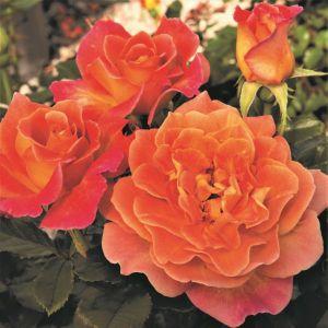 Rosie the Riveter™ Rose