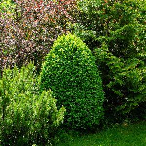 Rotundifolia Boxwood
