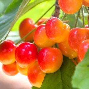 Royal Ann Cherry Tree