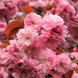 Royal Burgundy Flowering Cherry