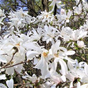 Royal Star Magnolia Shrub