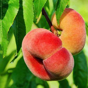 Saturn Donut Peach Tree