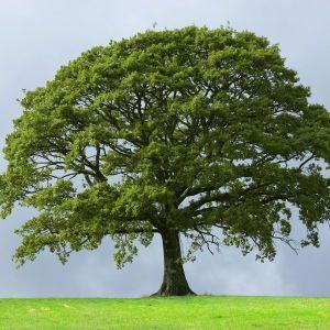 Sawtooth Oak Tree