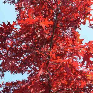USDA Organic Scarlet Oak