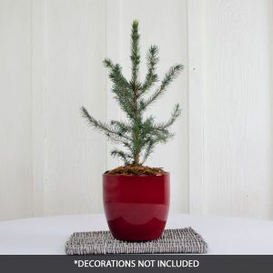 Serbian Spruce Tabletop Christmas Tree