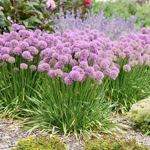 Serendipity Allium