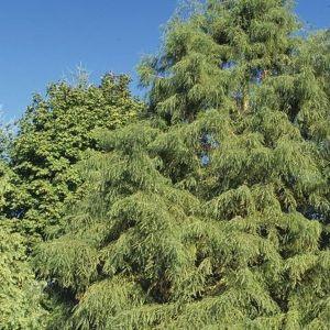 Shawnee Brave® Bald Cypress