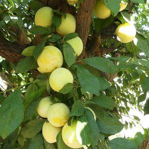 Shiro Japanese Plum Tree