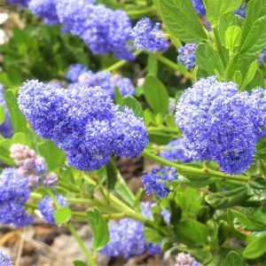Skylark California Lilac