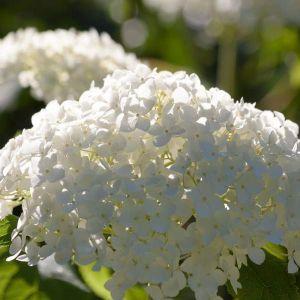 Snowhill Smooth Hydrangea