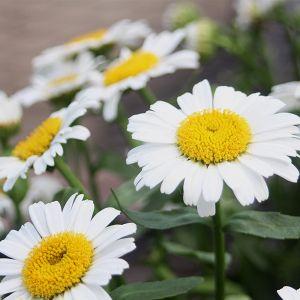 Snow Lady Shasta Daisy
