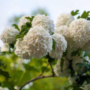 Snowball Viburnum Tree Form