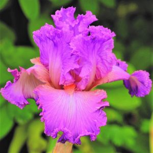 Social Graces Tall Bearded Iris