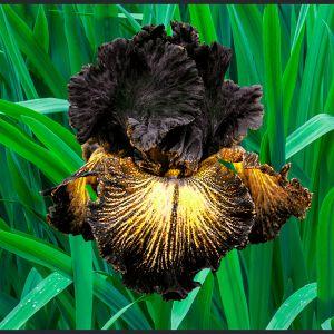 Sorbonne Tall Bearded Iris
