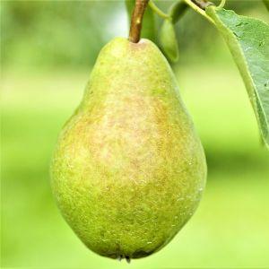 Southern Bartlett Pear Tree