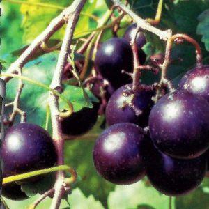 Southern Home Muscadine Hybrid Grape Vine