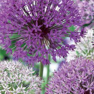 Elegant Allium Blend