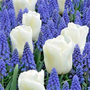 Border Buddies Tulip/Muscari Blend