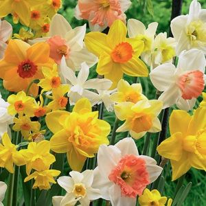 Scented Daffodil Mix