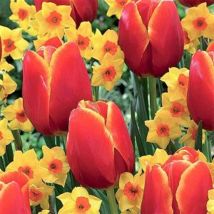 Spring Scents Tulip/Daffodil Blend