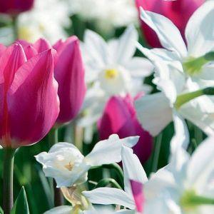 Spring Wonder Tulip/Daffodil Blend