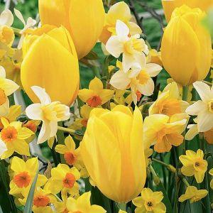 Warm Spring Tulip/Daffodil Blend