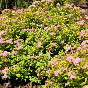 First Editions® Sundrop™ Spirea