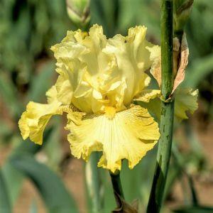 Spirit of Memphis Tall Bearded Iris