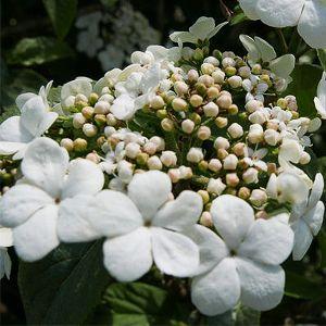 Spring Lace™ Viburnum