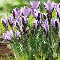 Spring Beauty Crocus