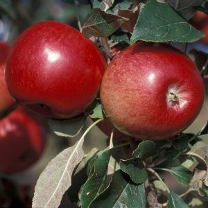 State Fair Apple Tree