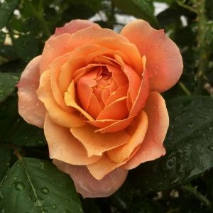 State of Grace™ Rose