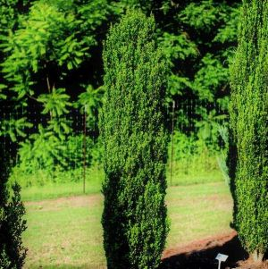 First Editions® Straight & Narrow® Japanese Holly